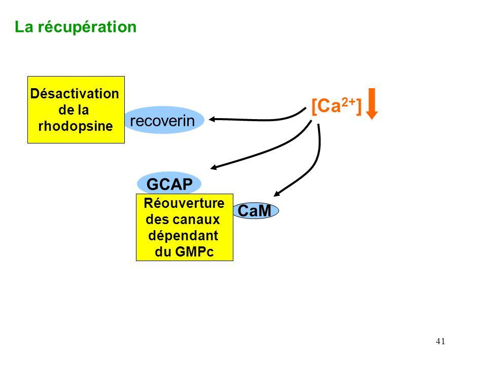 [Ca2+] La récupération recoverin GCAP CaM Désactivation de la